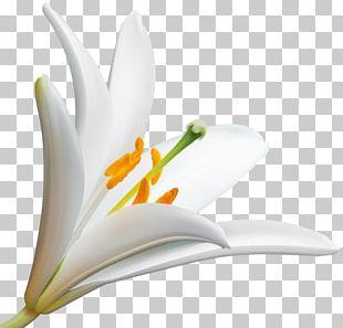 Desktop Lily Portable Network Graphics Flower PNG