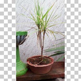 Houseplant Flowerpot Dracaena Fragrans Tree Bonsai PNG