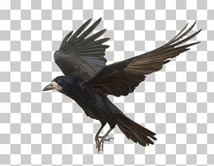 Rook Common Raven Bird Carrion Crow Flight PNG
