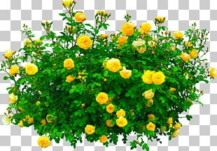 Shrub Garden Roses Flower PNG