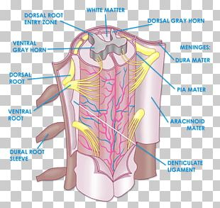 The Spinal Cord Anatomy Vertebral Column Physiology PNG