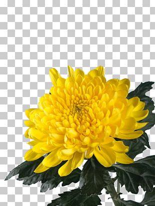 Chrysanthemum Annual Plant PNG