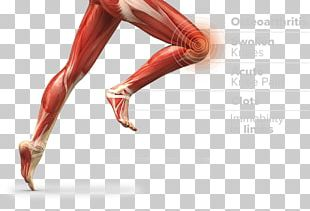 Thigh Muscle Muscular System Anatomy Human Body PNG