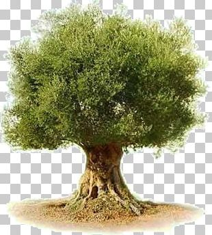 Olive Tree Png Images Olive Tree Clipart Free Download