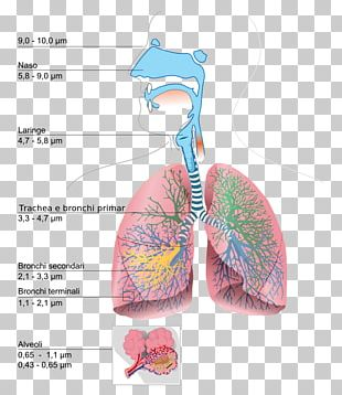 The Respiratory System Lung Diagram Breathing PNG