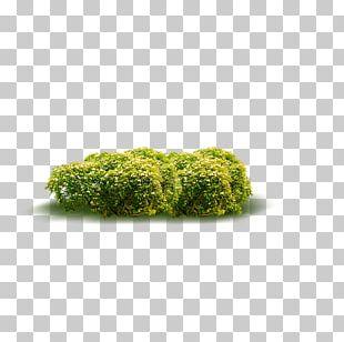 Shrub Acalypha Hispida Plant PNG