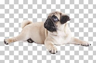 Pug Puppy Purebred Dog Dog Breed Snout PNG
