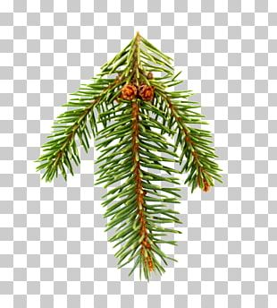 Fir Pine Spruce Christmas Tree PNG