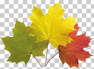 Maple Leaf Green Tree PNG