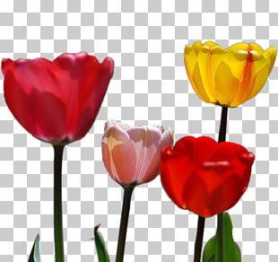 Tulip Petal Flower PNG