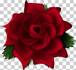 Garden Roses Cabbage Rose Cut Flowers PNG