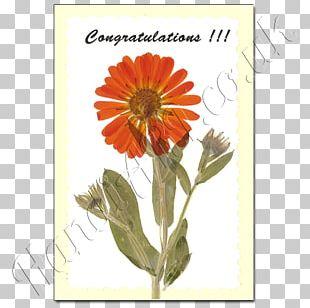 Transvaal Daisy Chrysanthemum Cut Flowers Marigolds Annual Plant PNG