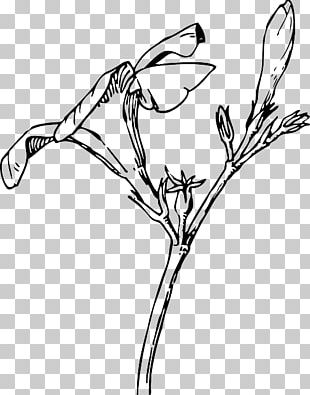 Nature Drawing And Design; Oleander Flower Bud PNG