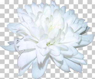 Chrysanthemum Cut Flowers Petal PNG