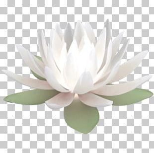 Water Lily Nelumbo Nucifera PNG