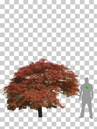 Maple Leaf Japanese Maple Acer Japonicum Acer Dissectum Tree PNG