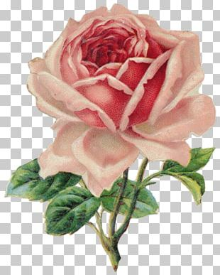 Vintage Roses: Beautiful Varieties For Home And Garden Decorative Borders PNG