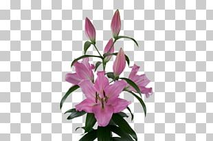 Lily Bulb Cut Flowers Plants Pink PNG