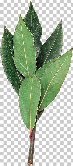 Bay Laurel Plant Stem Leaf Laurus PNG