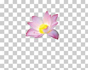 Petal Nelumbo Nucifera Flower PNG