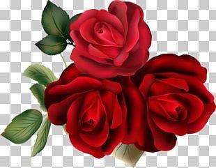 Garden Roses Cabbage Rose Floribunda PNG