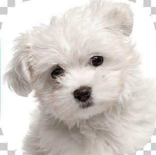 Maltese Dog Yorkshire Terrier Puppy Pet Sitting Labrador Retriever PNG