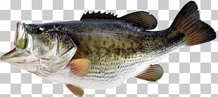 Largemouth Bass Smallmouth Bass Bass Fishing PNG