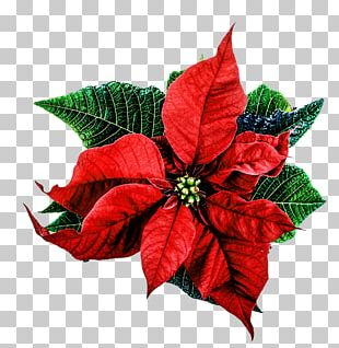 Poinsettia Christmas Happiness Love PNG