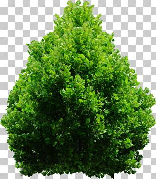 Evergreen Shrub Tree PNG