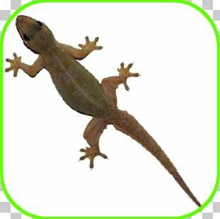 Philippine Sailfin Lizard Common House Gecko Reptile PNG