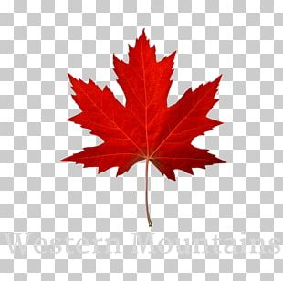 Maple Leaf Autumn Leaf Color Red Maple Stock Photography PNG