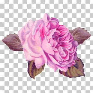 Cabbage Rose Garden Roses Pink Cut Flowers Art PNG