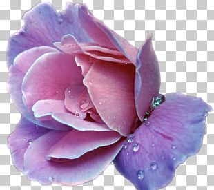 Lavender Flower Purple Rose PNG