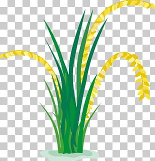 Rice Paddy Field Cartoon PNG