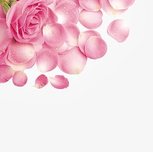 Rose Petals With Water Droplets PNG