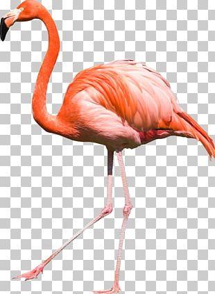 Bird Flamingos PNG