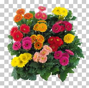 Transvaal Daisy Cut Flowers Floral Design Floristry PNG