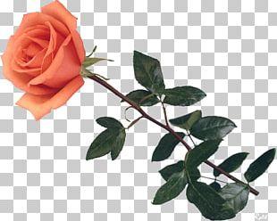 Garden Roses Centifolia Roses Still Life: Pink Roses Flower PNG