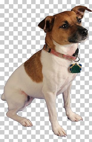 Jack Russell Terrier Cat Pest-Sniffing Dogs Bed Bug PNG