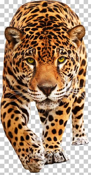 Jaguar Cars Leopard Jaguar XF PNG
