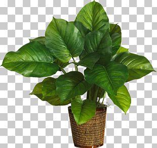 Albizia Julibrissin Leaf Plant Philodendron Bipinnatifidum Silk PNG