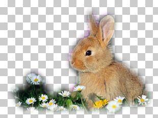 Domestic Rabbit Californian Rabbit Holland Lop Flemish Giant Rabbit Lop Rabbit PNG