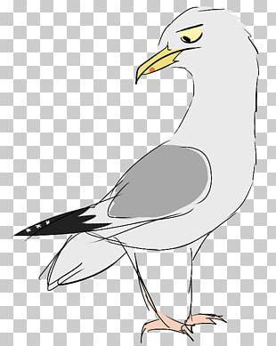 European Herring Gull Gulls Bird Of Prey Beak PNG
