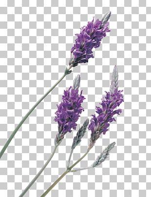 Lavender Oil Lavender Oil Essential Oil PNG