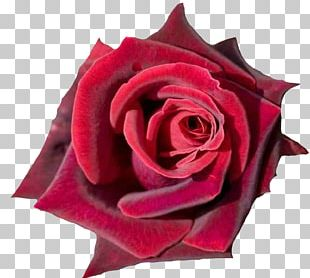 Rose Desktop Red Flower Pink PNG