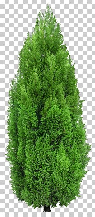 Tree Mediterranean Cypress Hedge PNG
