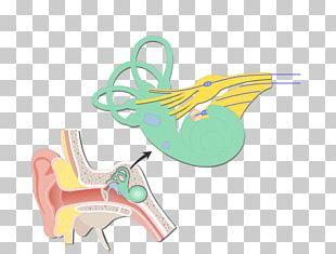 Cochlea Bipolar Neuron Vestibular System Vestibular Nerve Vestibule Of The Ear PNG
