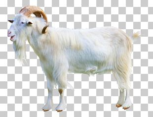 Sheep–goat Hybrid Cattle Ahuntz Sheep–goat Hybrid PNG