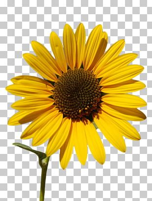 Common Sunflower Sunflower Oil Sunflower Seed PNG