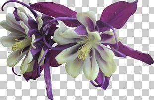 Flower Violet Purple Columbine Garden Roses PNG